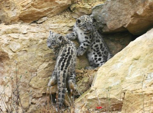 Two snow cubs on rocks