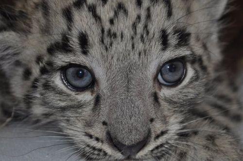 Snow cub CU