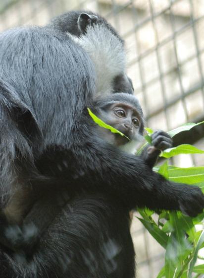 L'hoest Monkey 2