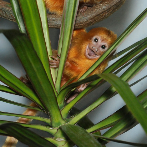 _Julie-Larsen-Maher-9576-Golden-Lion-Tamarin-and-Baby-PPZ-09-01-11