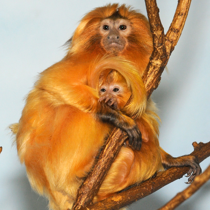 _Julie-Larsen-Maher-9727-Golden-Lion-Tamarin-and-Baby-PPZ-09-01-11