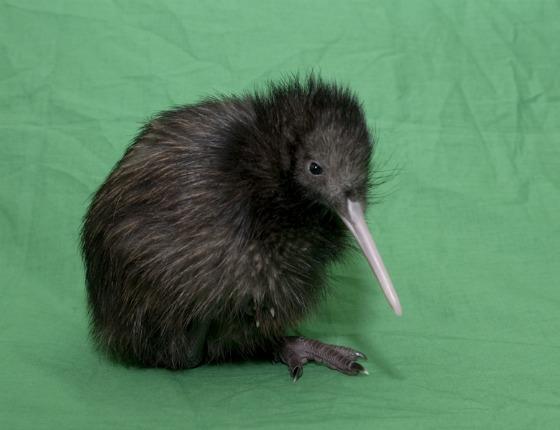 Kiwi #3