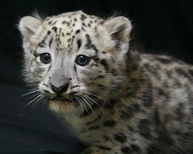 ABQ_Snow_Leopards_9