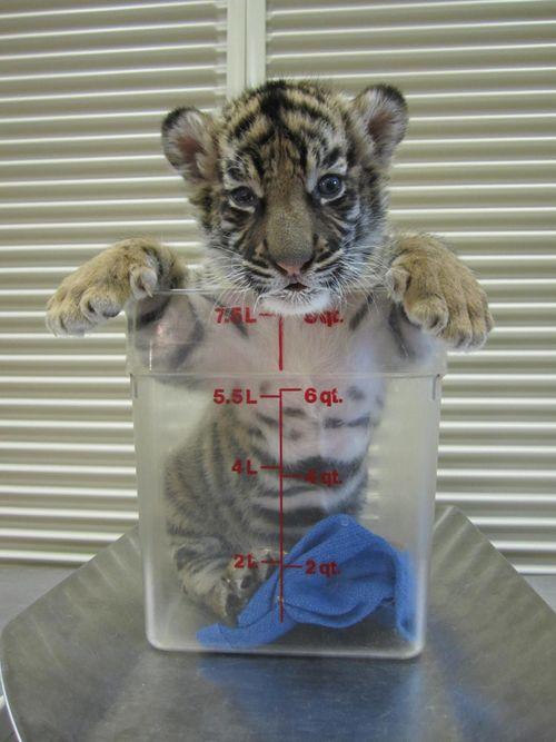 Tiger_Cubs3