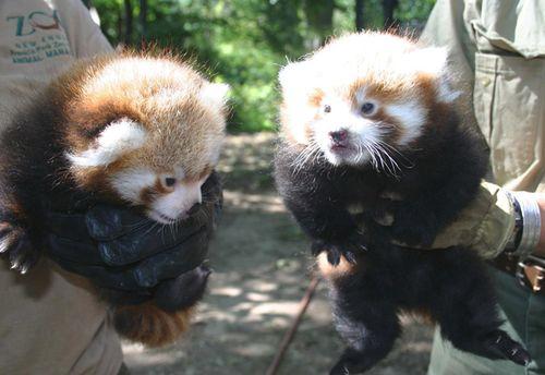 Red-Pandas-FPZ-1