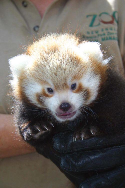 Red-Pandas-FPZ-2
