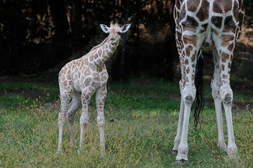 _Julie-Larsen-Maher-5229-Reticulated-Giraffe-and-Calf-BZ-10-03-11