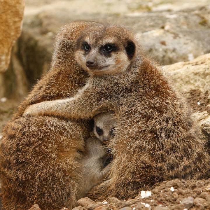 Marwell-Meerkats-4