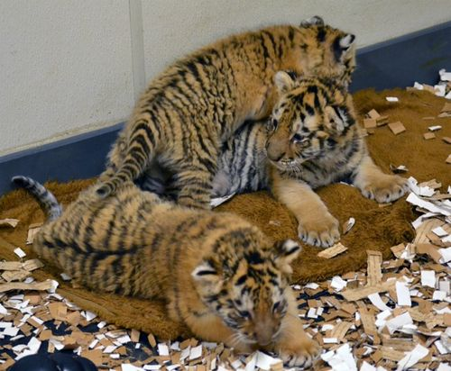 Cub group