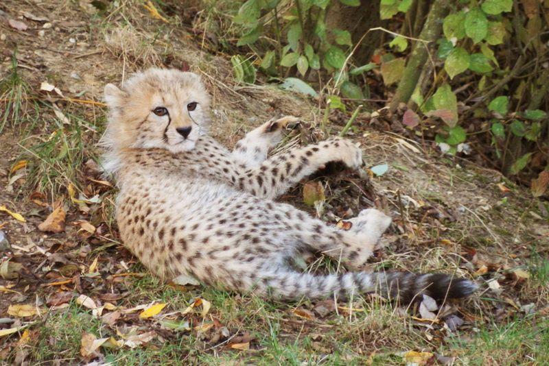 Cub in undergrowth