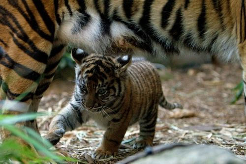 Tiger under mom