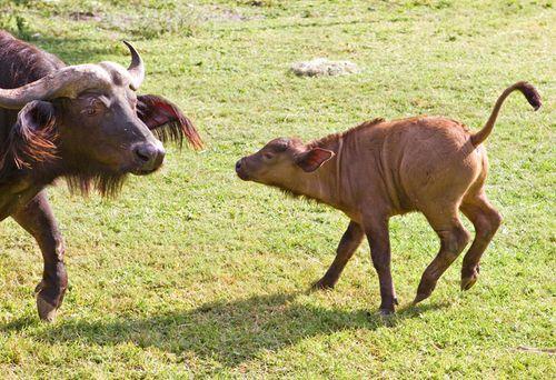 Baby-Waterbuffalo-at-Busch-Gardens-2