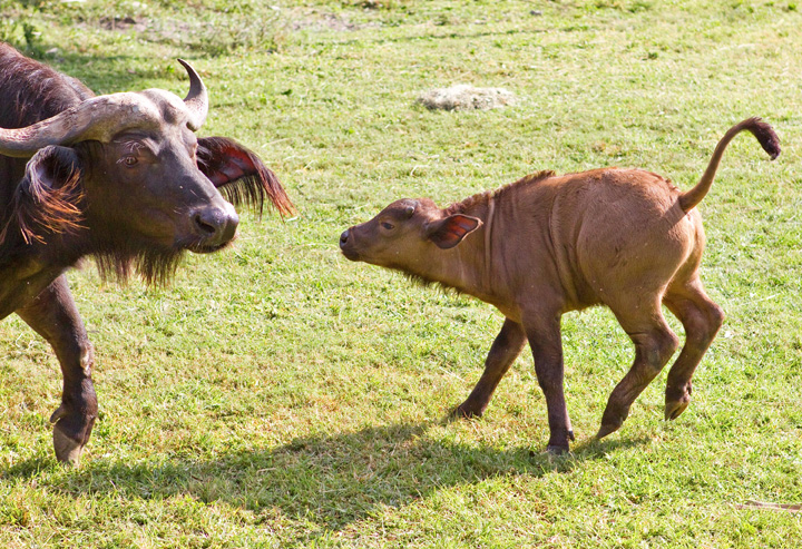 Baby-Waterbuffalo-at-Busch-Gardens-2