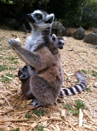 Lemur babies 2