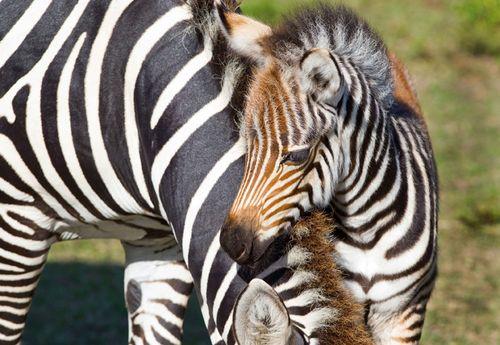 BGT-Baby-Grevy's-Zebra-3