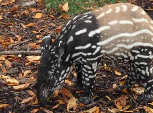 Baby_tapir 1