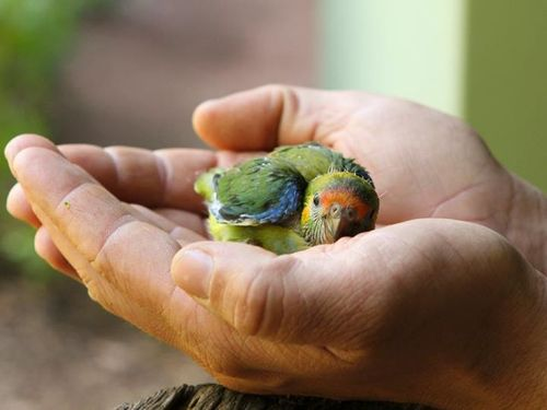 Purple Crowned Lorikeet hatched October 2c
