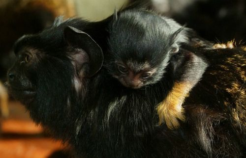 Red-handed Tamarin.