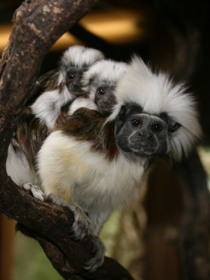 Cotton-topped tamarins