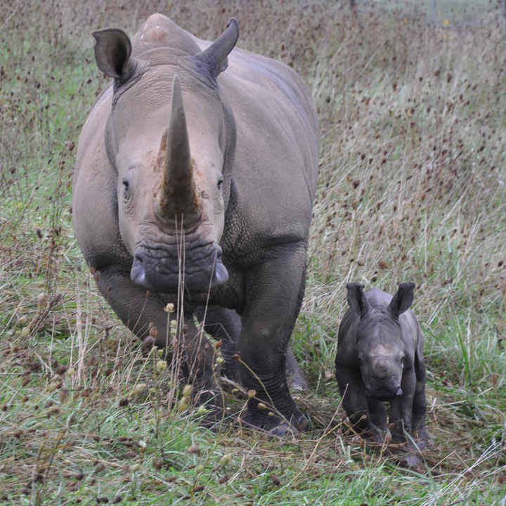 RHino-Baby---The-WIlds