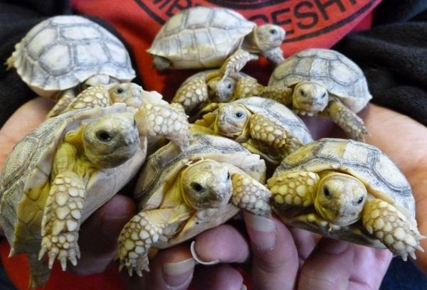 African Sulcata Tortoise Hatchlings Pose For Family Portrait