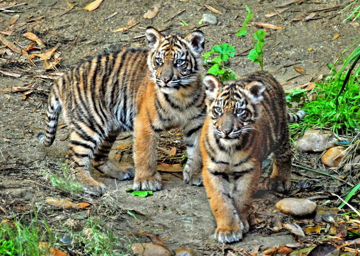 2-Male-Sumatran-Tiger-Cubs-11-22-11-_Tad-Motoyama-0140