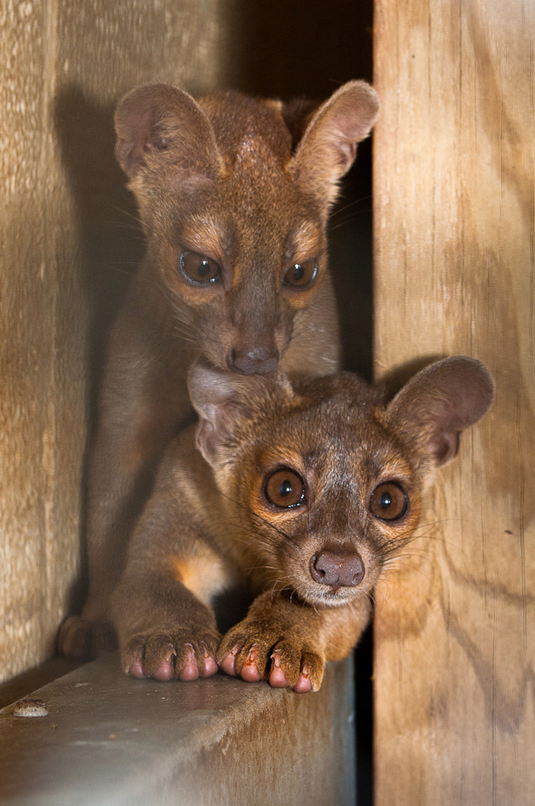 Houston-Zoo-Fossa-pups_2649