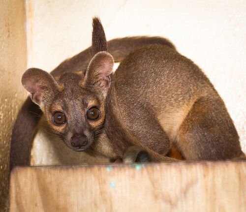 Houston-Zoo-Fossa-pups_2663