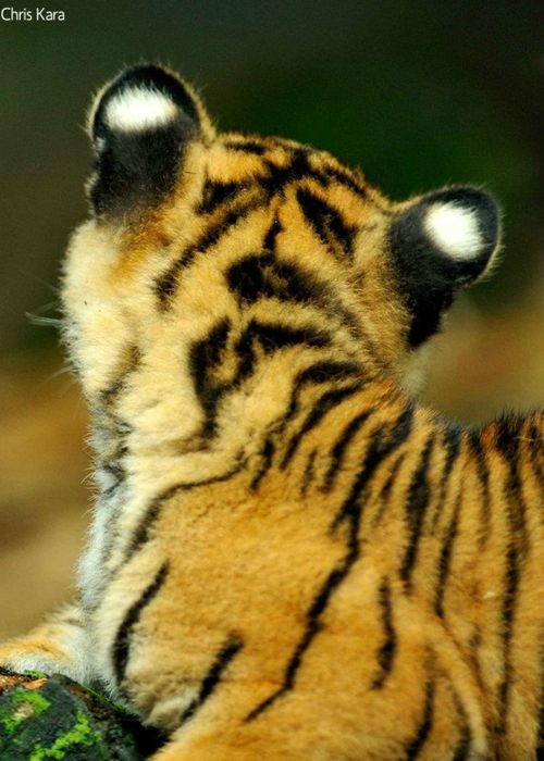 UPDATE: Tarongas' Three Tiger Cubs Have a Penchant for Mischief ...