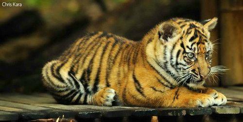 Tiger leg