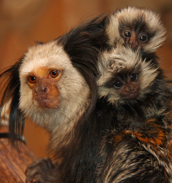 Little_Rock_Zoo_Geoffroy's_Marmosets_1
