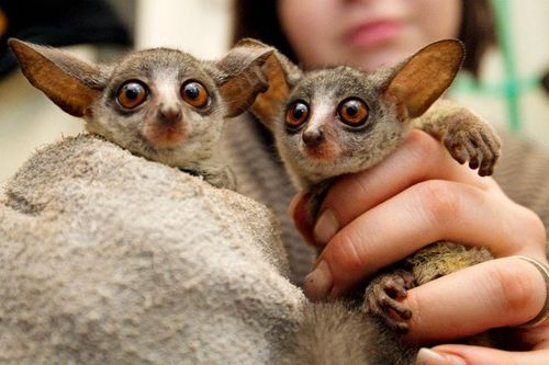 Senegal Bush Baby - Zoo Prague 2
