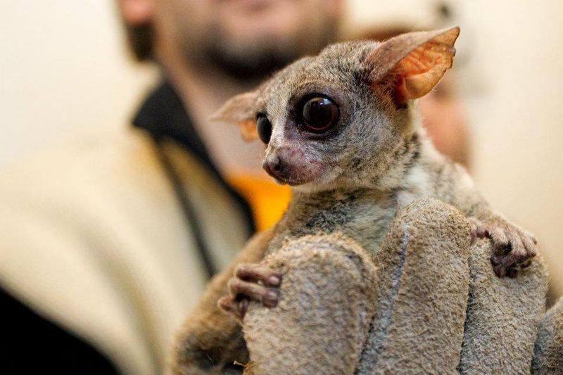 Senegal Bush Baby - Zoo Prague 6