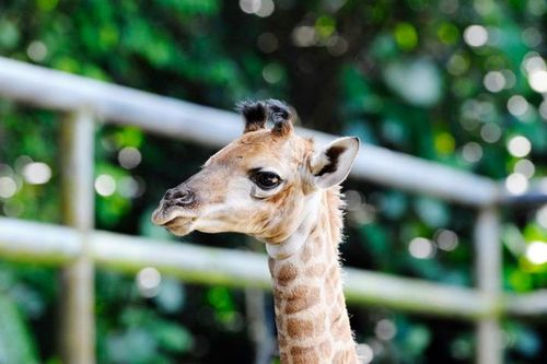 Singapore Wilidlife Park Giraffe Calf 4