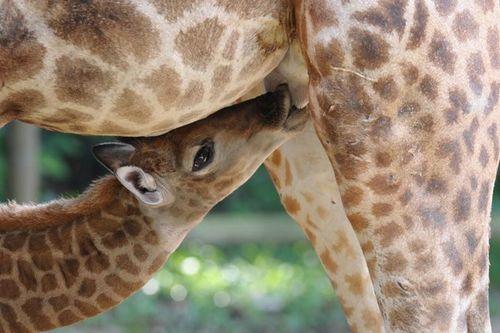 Singapore Wilidlife Park Giraffe Calf 2