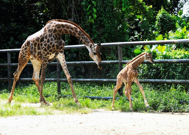 Singapore Wilidlife Park Giraffe Calf 1