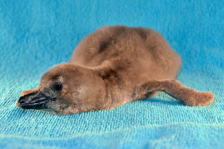 Tampa's-Third-African-Penguin-Chick-1