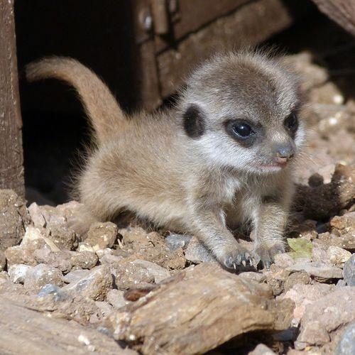 Marwell-Meerkats-2