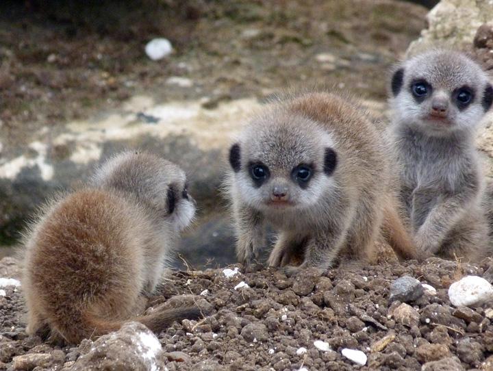 Marwell-Meerkats