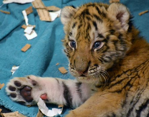 Three Sets Of Baby Tiger Paws at Potter Park Zoo - ZooBorns
