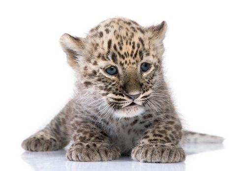 Baby white leopard - photo#17