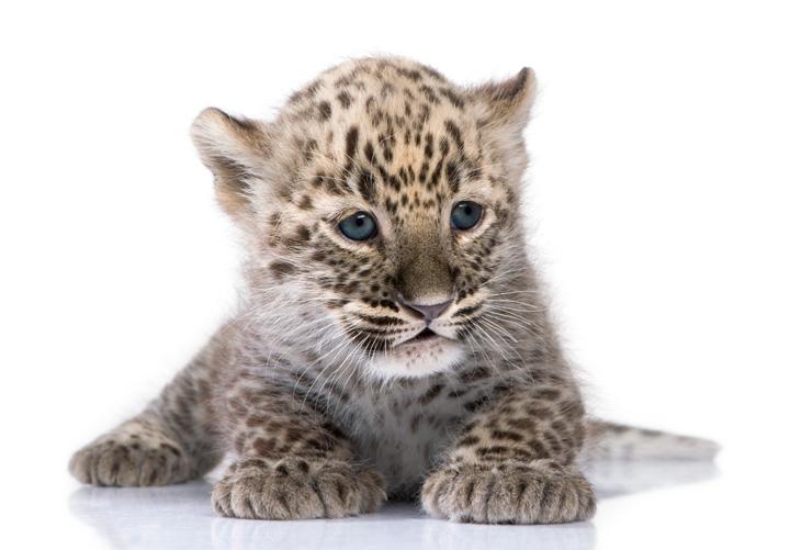 L_O_W_Leopard