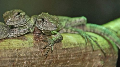 Utila Island iguanas by Adam Davis 4