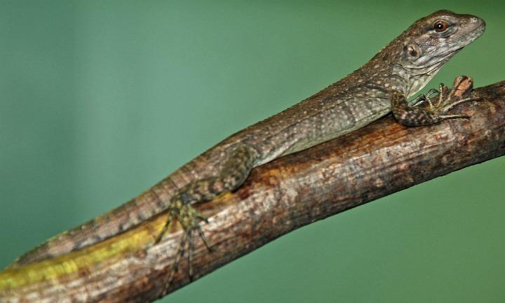 Utila Island iguanas by Adam Davis 5
