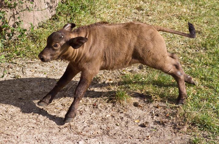 Baby-Waterbuffalo-at-Busch-Gardens-3