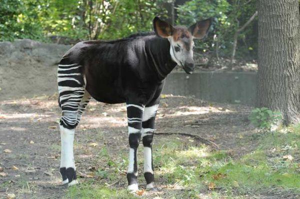 Okapi Breeding Program Succeeding at Bronx Zoo - ZooBorns