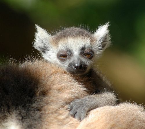 Lemur baby 1