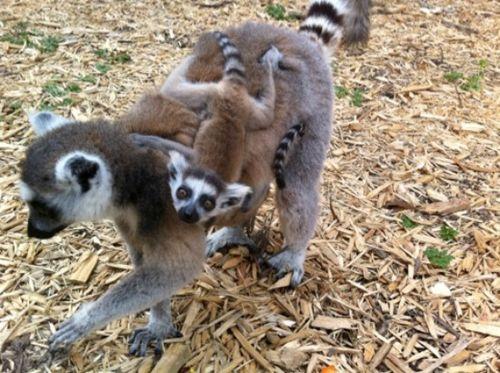 Lemur babies 1