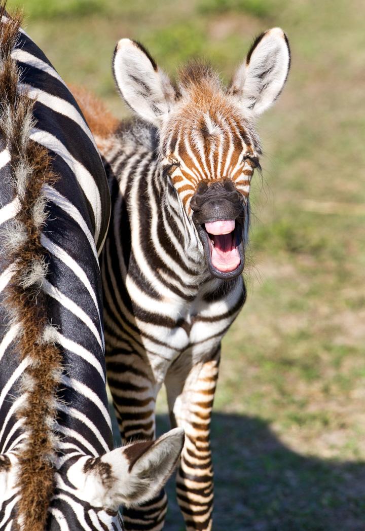 BGT-Baby-Grevy's-Zebra-2