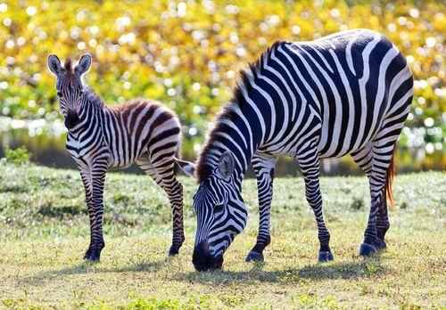 BGT-Baby-Grevy's-Zebra1